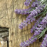 French Lavender Essential Oil at Mystic Convergence Metaphysical Supplies, Metaphysical Supplies, Pagan Jewelry, Witchcraft Supply, New Age Spiritual Store